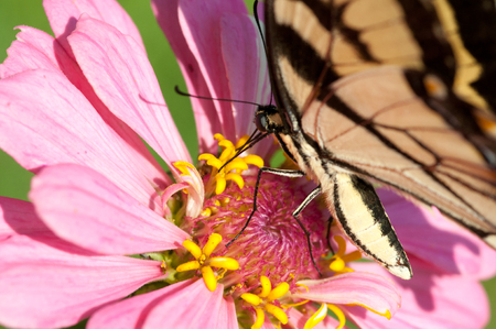 A tiger swallowtail butterfly pollinating a flower.