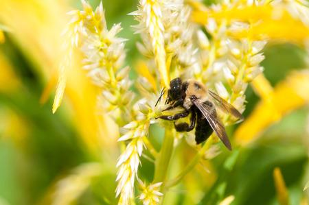 An eastern carpenter bee collecting pollen from a flower. Banco de Imagens