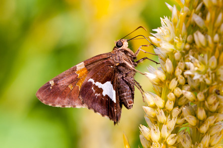 A silver spotted skipper pollinating a flower.