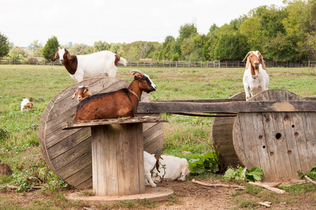 barnyard: Boer goats like to climb and rest on these wooden spools.