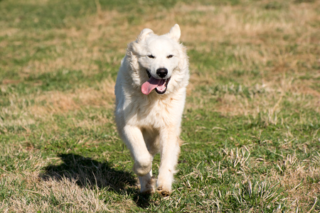 great pyrenees: A white great pyreness dog running.