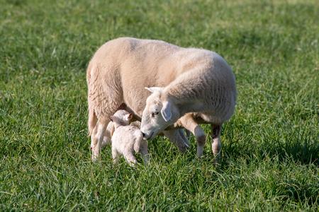 잔디 필드에 그녀의 어린 양을 양육하는 Ewe.