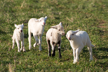 ewes: Ewes and lambs in a grassy field.