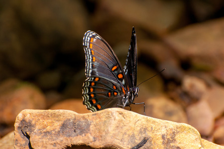 spotted: red spotted purple
