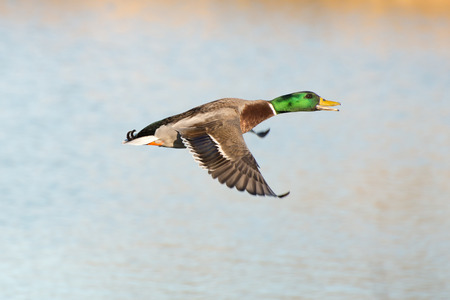 mllard duck in flight Stock Photo - 91333126