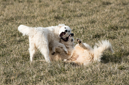 An adult and juvenile pyrenees dogs playing.