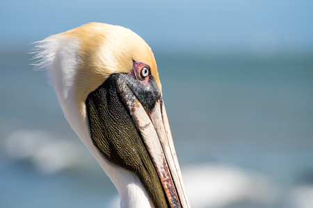 Brown pelican face close up.
