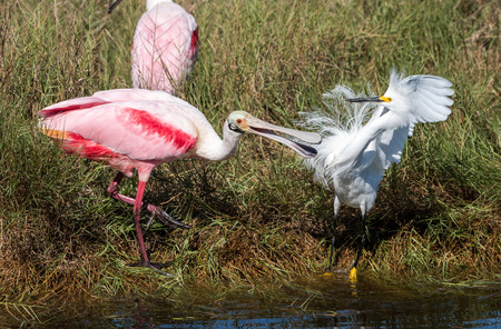 A rosate spoonbill and asnowy egret fight at a watering hole in Canaveral National Seashore. 版權商用圖片