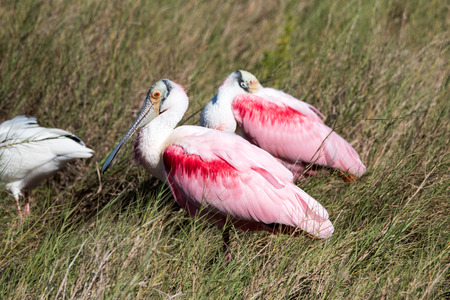 roseate, spoonbill, bird, wild, wildlife, nature, florida, canaveral, national, seashore, pink, white, feathers, Stock Photo