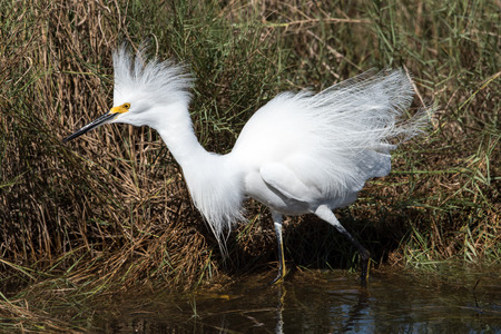 A snowy egret at Canaveral National Seashore salt marsh.