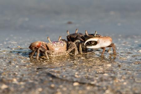 fiddler crabs in Canaveral National Seashore 版權商用圖片