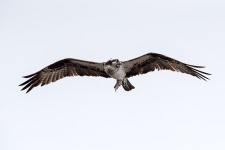 An osprey flying with remains of fish. Reklamní fotografie