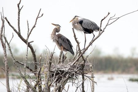 A pair of great blue blue herons build a nest. 版權商用圖片