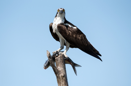 An osprey eating a fish it caught.