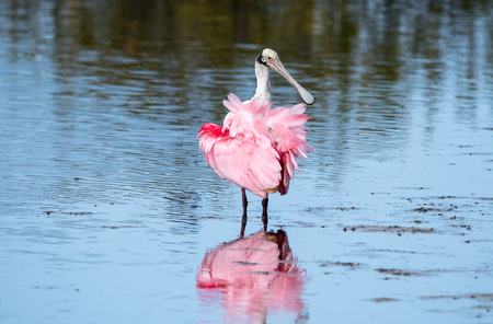 A roseate spoonbill wading through water. Stok Fotoğraf