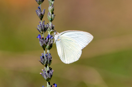 Sulfur butterfly pollinating lavender plant.