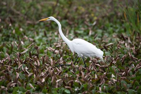 A white heron wades through a swamp.