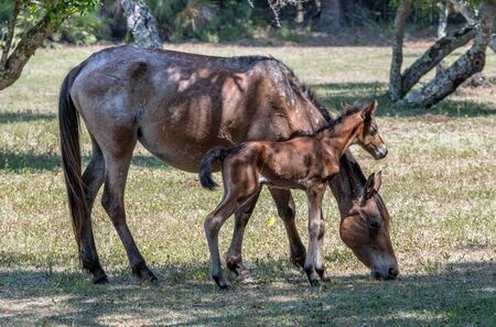 wild horses grazing at Cumberland Island National Seashore. 版權商用圖片
