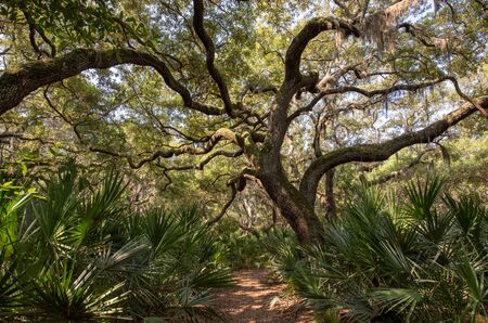 Live oak trees line a trail at Cumberland Island National Seashore.