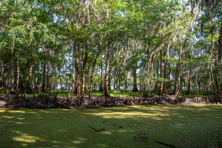 Cypress trees growing along a Florida river and canal. Stock Photo