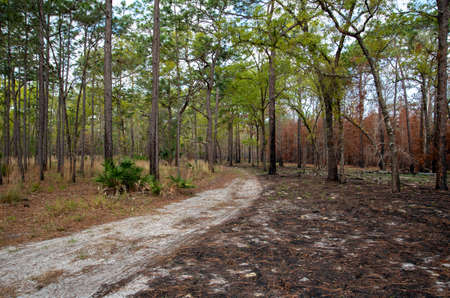 After a prescribed fire in a Florida forest.