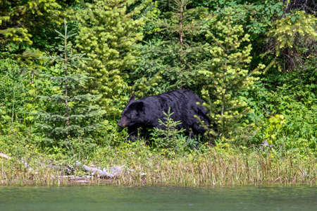 A black bear is foraging for food in the Montana wilderness.