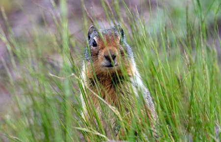 A ground squirrel in Glacier National Park.