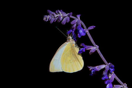 A white cabbage buttefly on Russian sage.