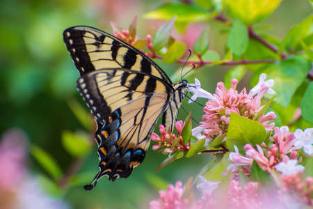 A tiger swallowtail butterfly pollinating  flower.