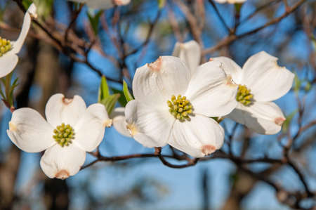 Dogwood tree blooming in spring.