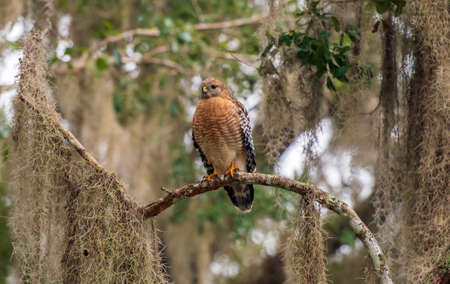 A red-shouldered hawk perched in a tree.
