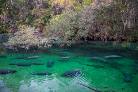 Manatees at Blue Springs State Park in Florida.