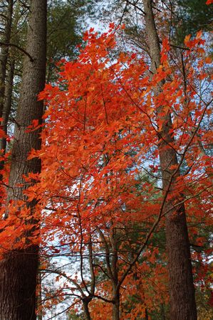 A bright red maple tree stands between taller pines  Фото со стока