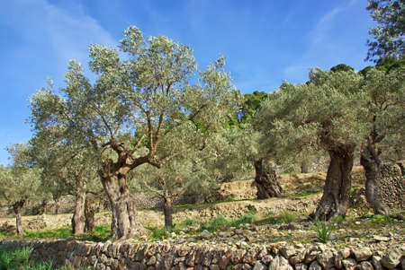 Traditional olive trees in the Serra of Tramuntana (Majorca - Spain) photo