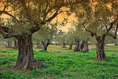 mallorca: Ancient Olive trees in Majorca at Sunset Stock Photo