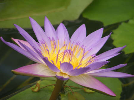 waterlilly: water lilly