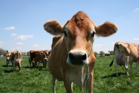 beautiful cow: A beautiful female Jersey cow in pasture