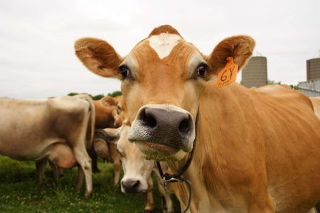 Funny Faced Cow Stock Photo