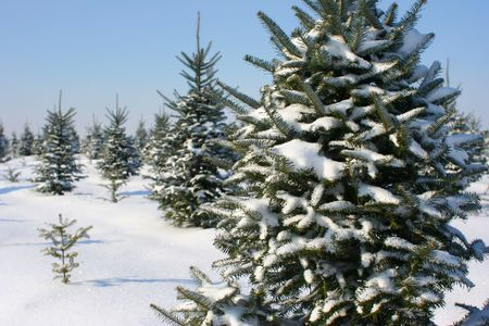 Christmas Tree Farm Stock Photo - 850556