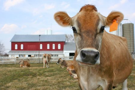jersey cattle: A standing jersey cow with an orange ear tag in front of the barn Stock Photo
