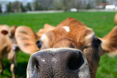 Close up of a brown bovine snout photo