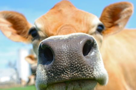 snout: Close up of a brown bovine snout