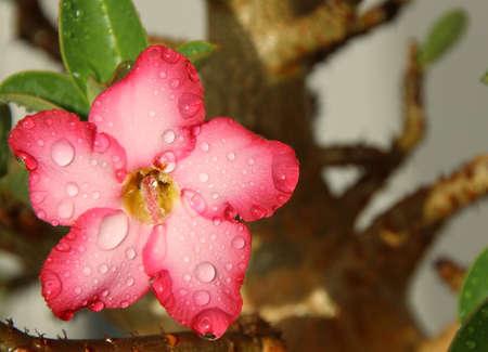 adenium: Desert Rose Adenium Water drops