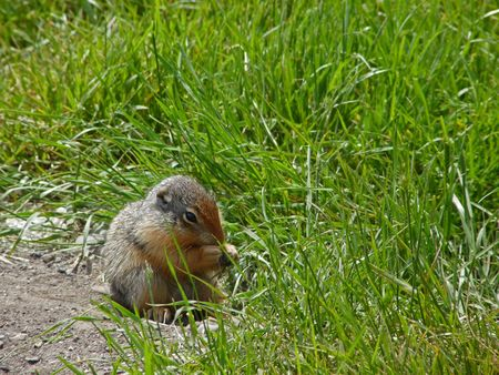 A baby gopher sits to eat some grass.