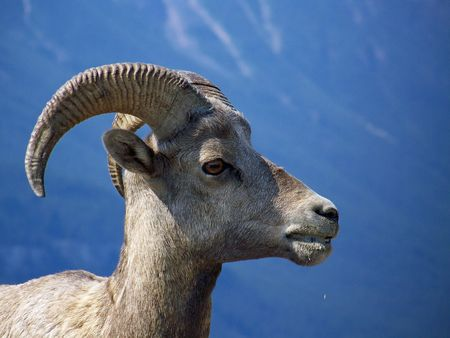A mountain goat stands in front of a mountain.