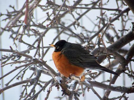 A robin sits on a snowy branch.