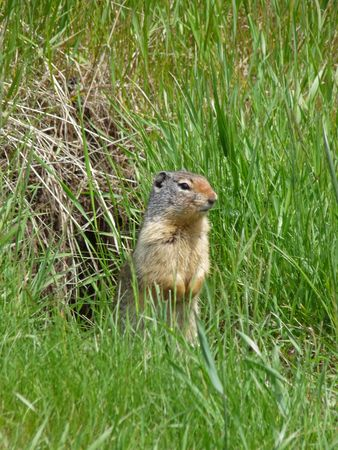 A gopher stands in front of his burrow.