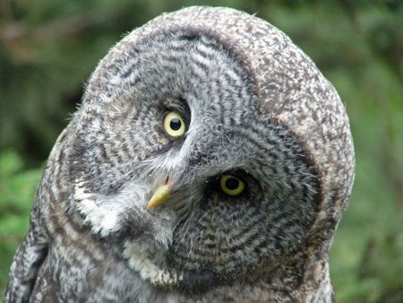 A great grey owl cocks his head