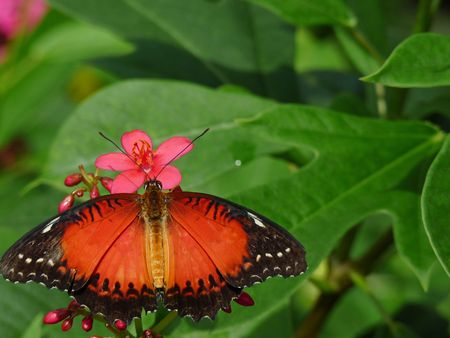 An orange butterfly rests on a pink flower Stock Photo