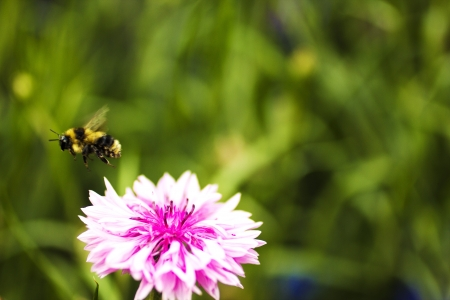 A bumble bee flies off of a pink flower Stock Photo